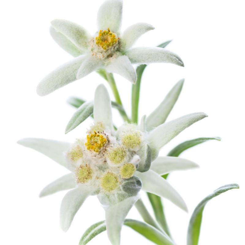 Bavarian Edelweiss - Ultra-Strong Fragrance Oil