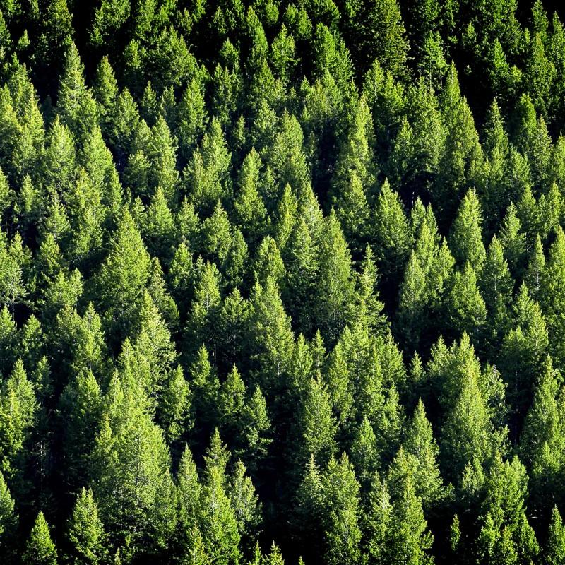 Birchwood Pine (Type) - Ultra-Strong Fragrance Oil