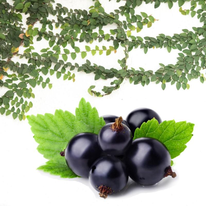 Black Current & Ivy Trellis - Ultra-Strong Fragrance Oil