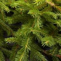 Fraser Pine - Balsam Fir - Ultra-Strong Fragrance Oil