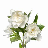 Glorious Gardenia - Ultra-Strong Fragrance Oil