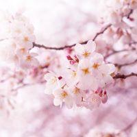 Japanese Cherry Blossom - Ultra-Strong Fragrance Oil