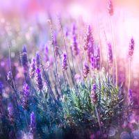 Lavender - Ultra-Strong Fragrance Oil