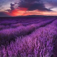 Lavender Fields - Ultra-Strong Fragrance Oil