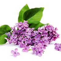 Lilac - Ultra-Strong Fragrance Oil