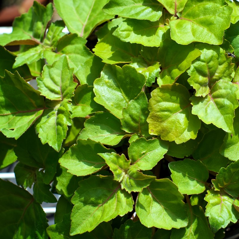 Patchouli - Ultra-Strong Fragrance Oil