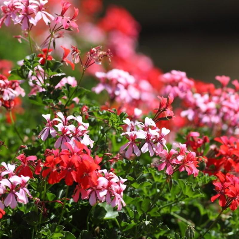 Rose Geranium - Ultra-Strong Fragrance Oil