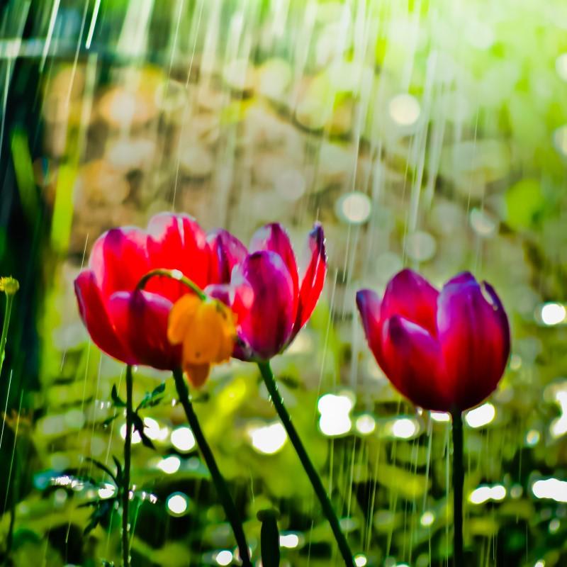 Spring Rain - Ultra-Strong Fragrance Oil