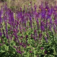Wild Sage & Aloe (Type) - Ultra-Strong Fragrance Oil