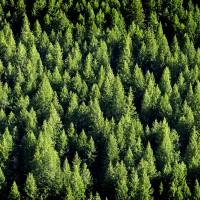 4oz Birchwood Pine (Type) - Ultra-Strong Fragrance Oil