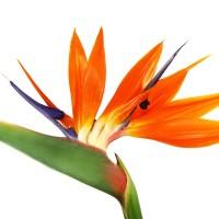 8oz Bird of Paradise - Ultra-Strong Fragrance Oil