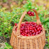 16oz Cranberry Woods BBW Type - Ultra-Strong Fragrance Oil