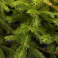SFO251-1 - 1oz Frasier Pine - Balsam Fir - Soy Based Fragrance Oil