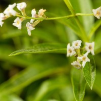 810346-N - Lemon Verbena - Ultra-Strong Fragrance Oil