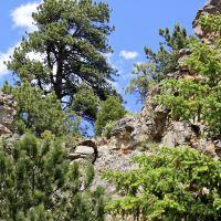 1oz Pinion Pine - Ultra-Strong Fragrance Oil