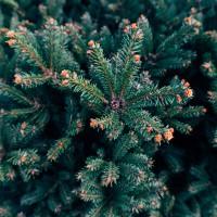 1oz Silver Spruce - Ultra-Strong Fragrance Oil
