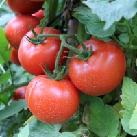 16oz Tomato Patch - Ultra-Strong Fragrance Oil