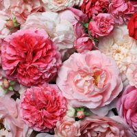16oz Victorian Rose - Ultra-Strong Fragrance Oil